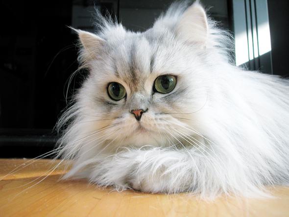 우리집 고양이 스밀라. 고양이 털을 날려도 손익계산을 해보면, 고양이 키우기는 그리 손해 보는 일은 아니다.