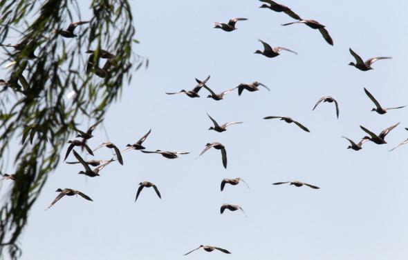 지난 5일 서울시 강서구 오곡동과 경기도 부천시 고강동 일대의 김포공항 습지에서 10여종의 새들을 만났다. 새들은 '조류 위험지대'인 공항 옆에 터전을 일궜다. 흰뺨검둥오리가 습지 위를 날고 있다.