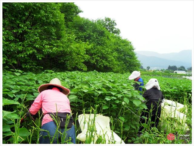 송죽마을 쑥모시영농조합법인 조합원들이 내장산 자락에서 모싯잎을 채취하고 있다. 쑥모시영농조합법인 제공