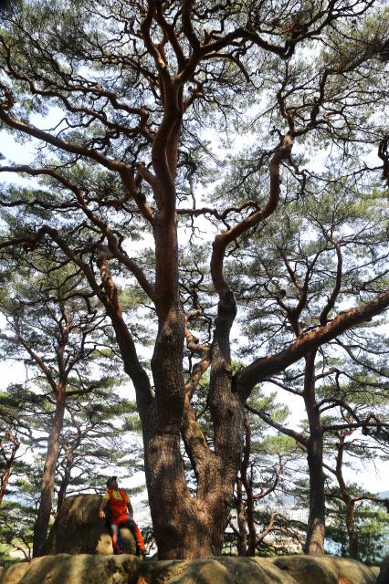 고성 천학정 뒷산의 '천년송'. 바위틈에 뿌리를 내려, 바위를 가르고 자라올랐다. 사진 이병학 선임기자