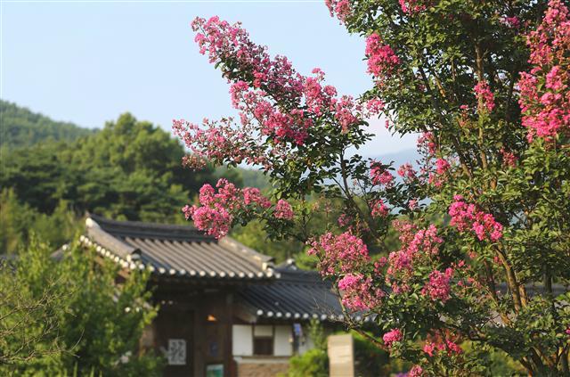 구례군 토지면 오미리 운조루 앞 배롱나무. 사진 이병학 선임기자