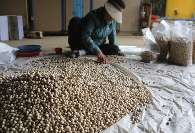 수확한 은행더미에서 돌을 골라내고 있는 장현리 주민. 사진 이병학 선임기자