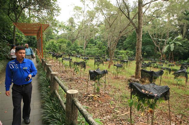 싱룽 열대식물원의 커피 농장. 사진 이정국 기자