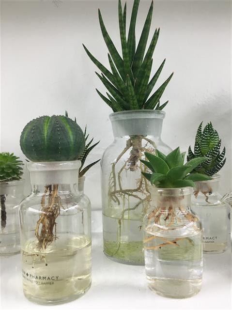다육식물은 물로만 키우는 수경재배도 가능하다.