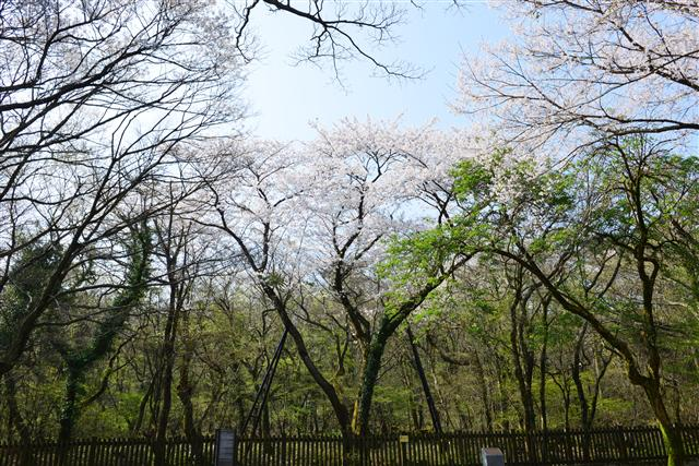 국립산림과학원은 자생 왕벚나무가 처음 발견된 한라산 북사면 해발 600m 지점에서 수형이 웅장하고 꽃이 아름다운 왕벚나무 한 그루를 기준 어미나무로 지정했다. 4일 대구대교구청에 심은 왕벚나무는 이 나무의 복제 나무 5년생 2그루다. 국립산림과학원 제공