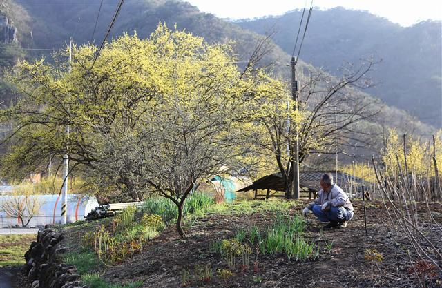 봄기운에 휩싸인 산수유마을 상천리. 이곳 산수유꽃 절정기는 3월 말~4월 초다. 사진 이병학 선임기자