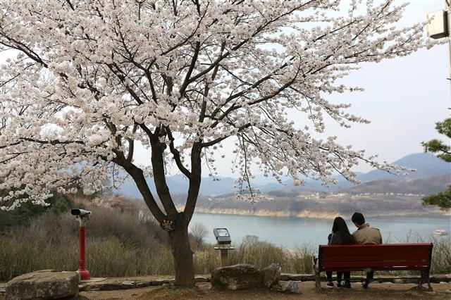 제천 청풍호(충주호) 청풍문화재단지 안 호숫가 벚꽃 그늘 아래 앉은 연인 한쌍.   사진 이병학 선임기자