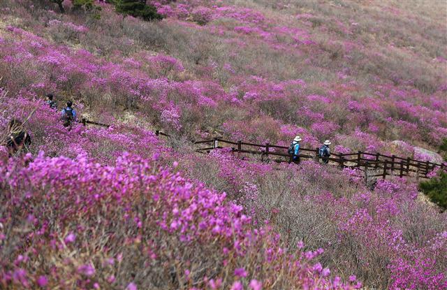 대견사 뒤 언덕 너머로 드넓은 진달래(참꽃)밭이 펼쳐진다. 사진 이병학 선임기자