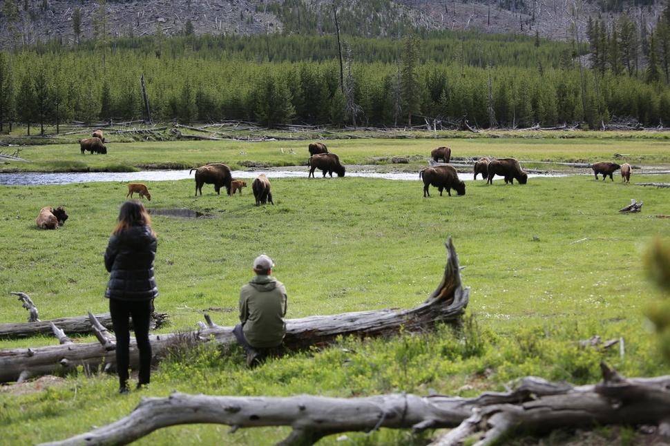 옐로스톤 국립공원 안 물길에서 흔히 볼 수 있는 바이슨(들소) 무리.