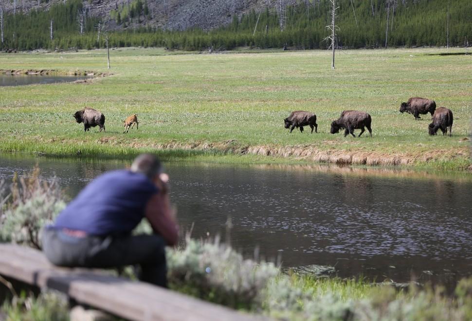 바이슨 무리는 옐로스톤 국립공원 곳곳에서 만날 수 있다.