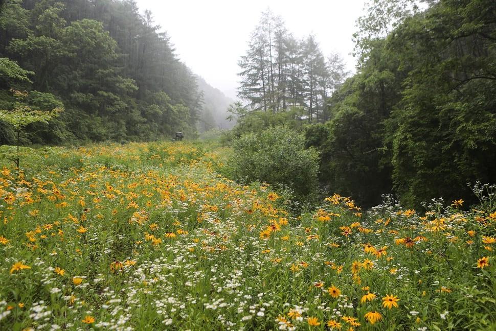 하오개계곡의 개망초·루드베키아 꽃밭.