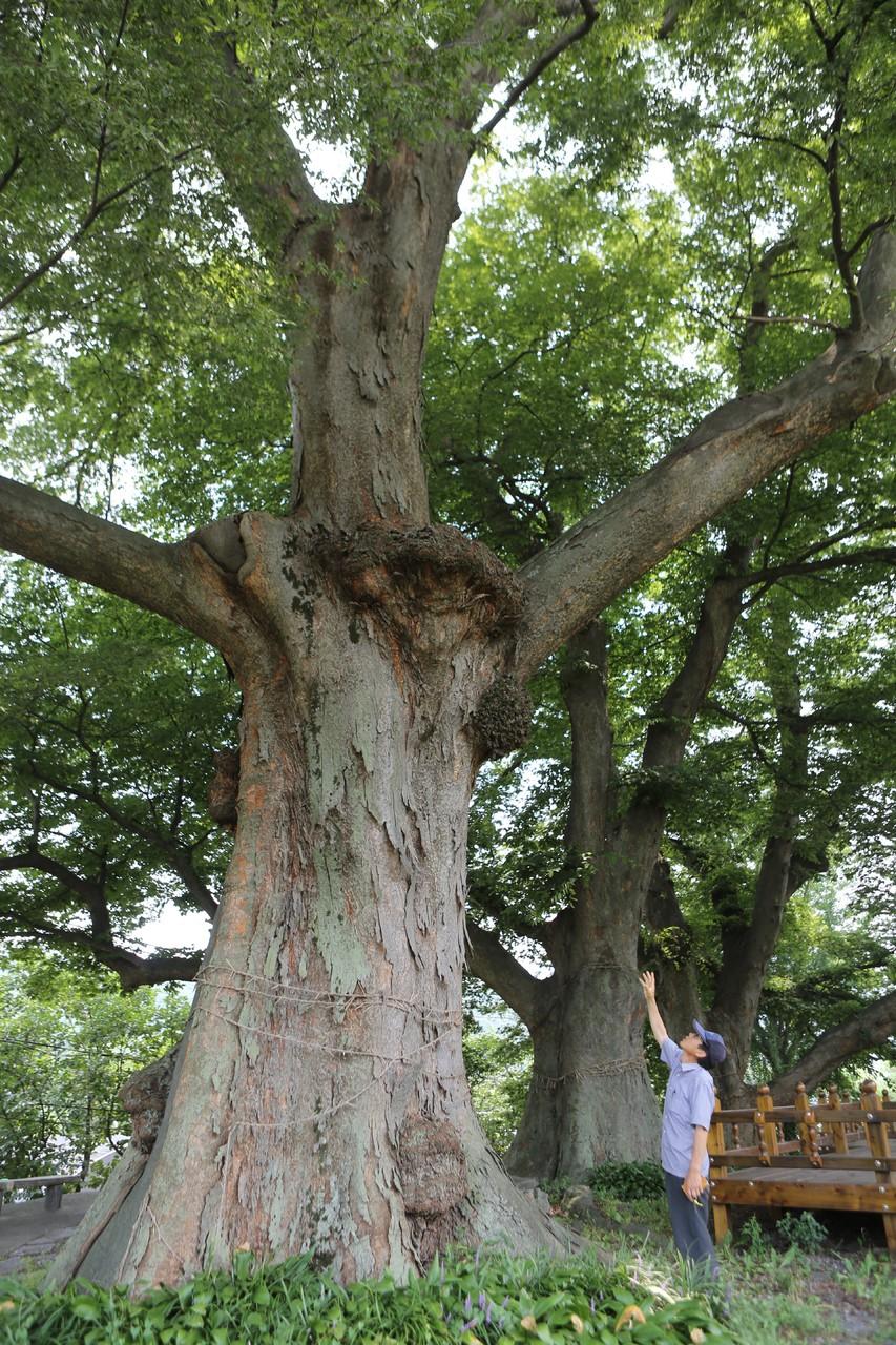 무풍면 철목리의 400년 된 느티나무.