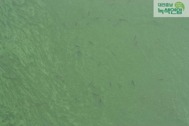 백제보 소수력발전소 인근 금강의 모습. 녹조로 뒤덮인 강물 속에 물고기들이 헤엄치고 있다. 대전충남녹색연합 제공