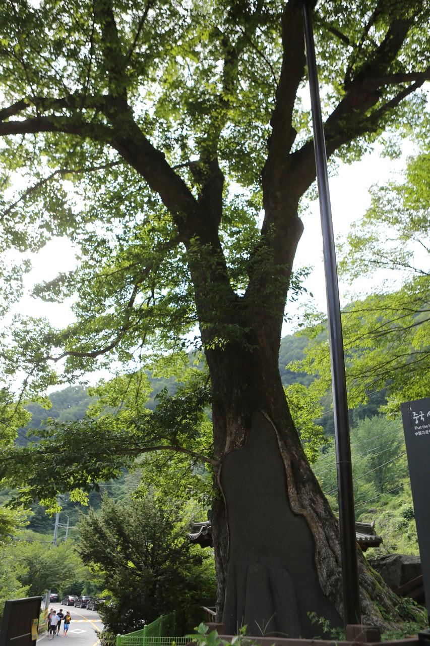 통일신라의 학자 최치원 이야기가 전해오는 신흥마을의 푸조나무(범왕리 푸조나무).