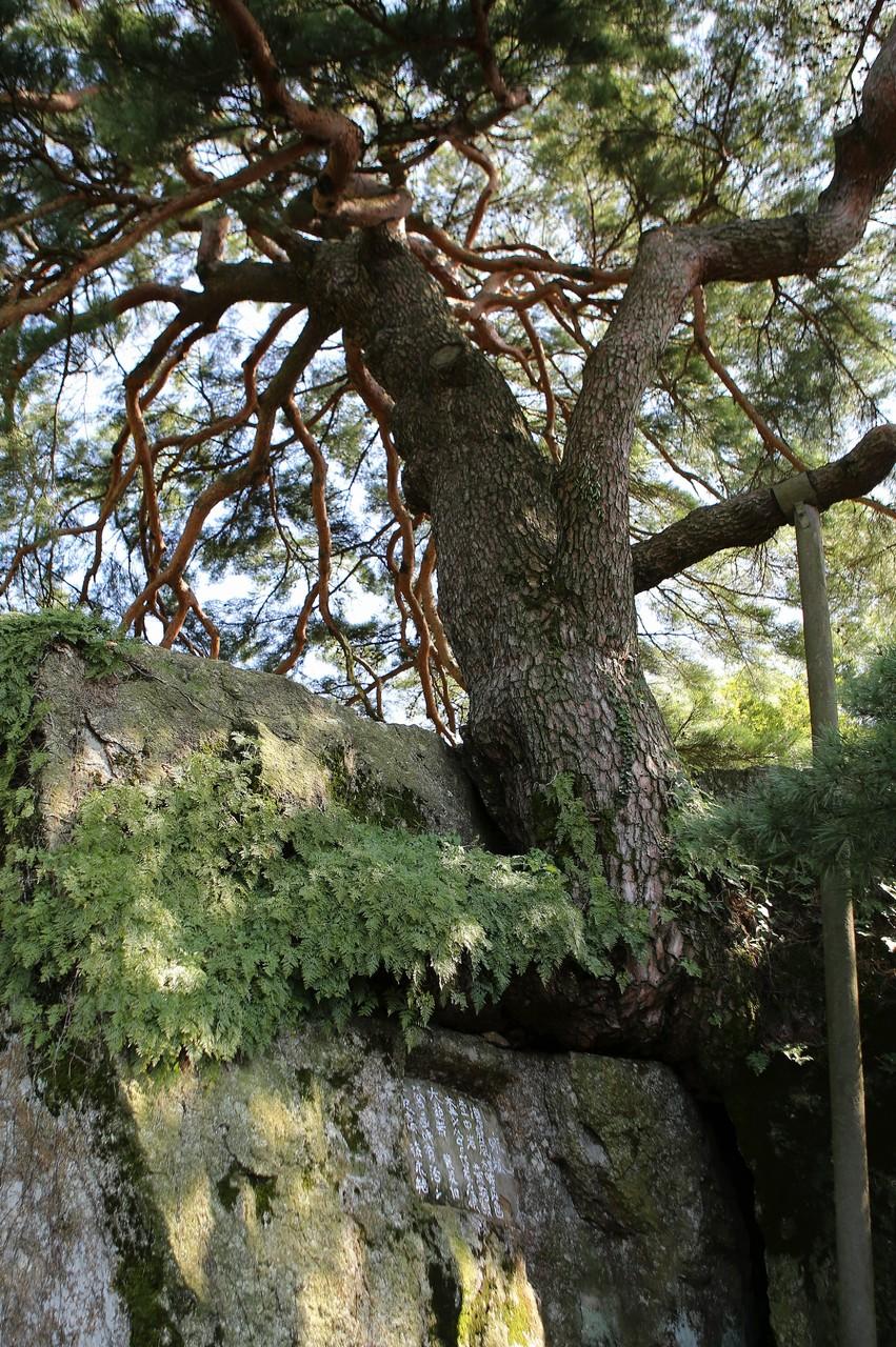 바위틈에 뿌리를 내려 자란 축지리 문암송.