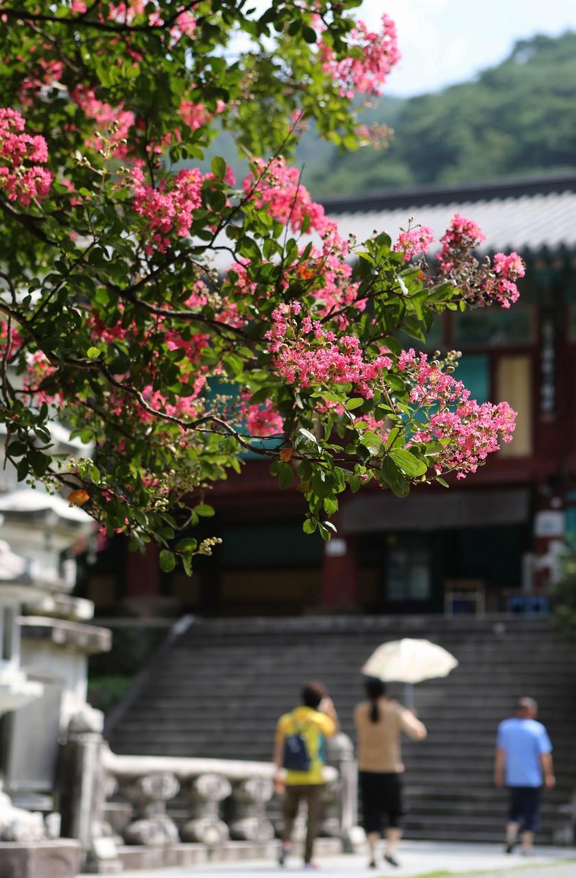 쌍계사 팔영루 앞마당(천왕문 옆)의 배롱나무(목백일홍)가 꽃을 활짝 피웠다.
