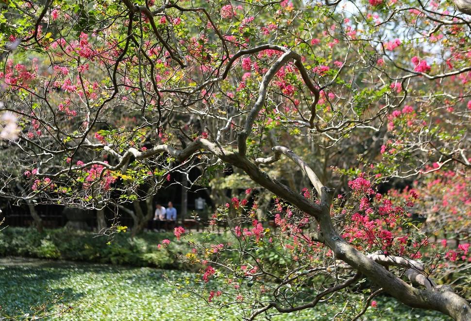 전남 장흥군 장흥읍 평화리의 200여년 된 연못 송백정. 연못을 둘러싼 배롱나무(목백일홍)들의 꽃잔치도 마무리되고 있어, 가을이 깊어감을 알려준다.