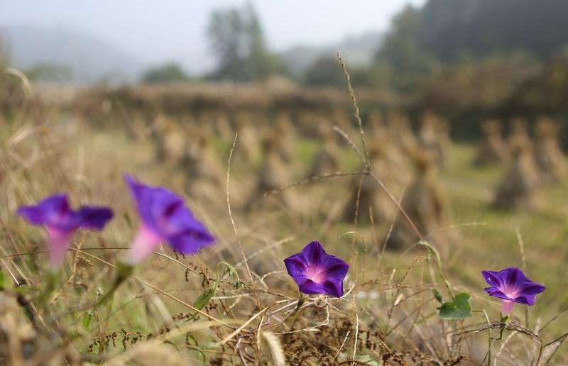논둑에 피어난 나팔꽃들도 가을 정취를 키워준다.