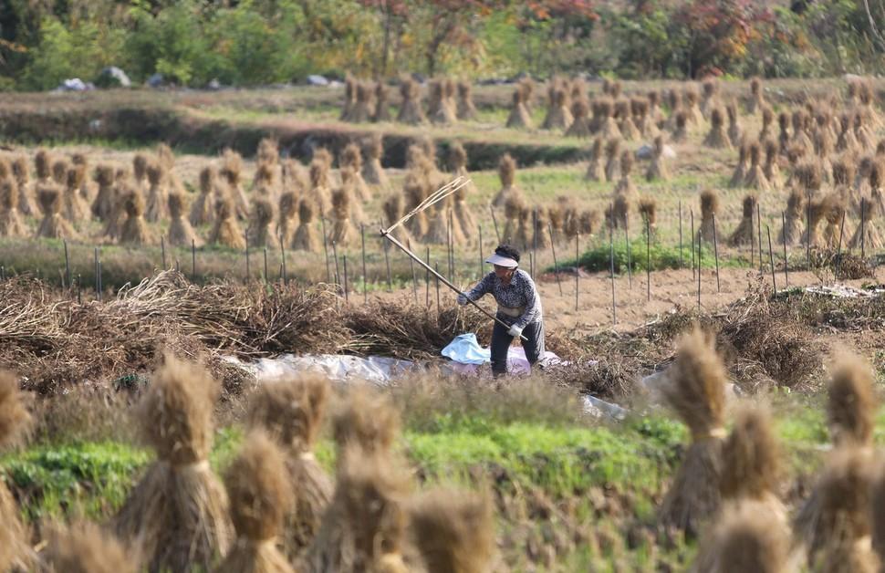 수확 끝난 논에 엮어 세운 볏짚 행렬 사이에서, 할머니가 도리깨로 들깨를 털고 있다.