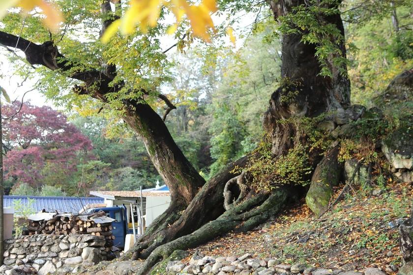봉화읍 삼계리 삼계서원 옆 농가의 느티나무. 농가에서 대대로 한달에 두번씩 제를 올려오는 나무다.