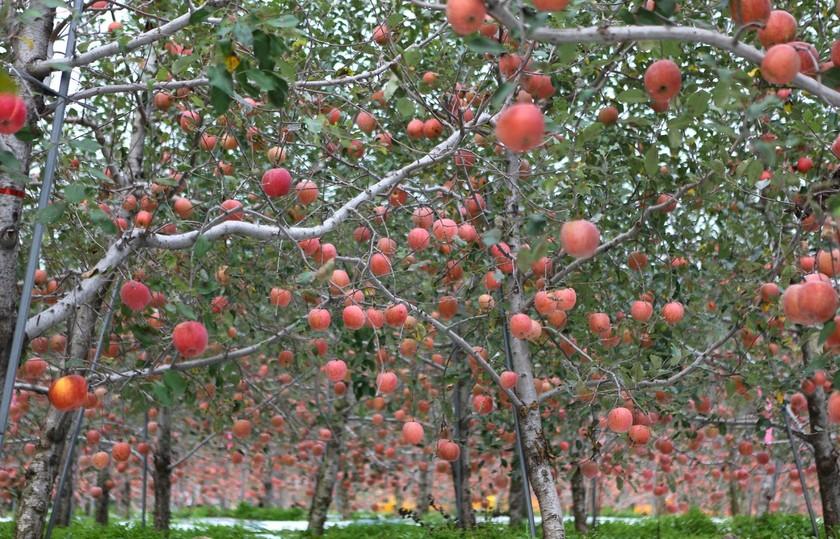봉화에 지천인 사과나무밭.
