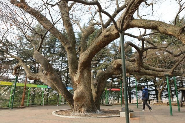 현풍휴게소(현풍 쪽)의 500살 느티나무.