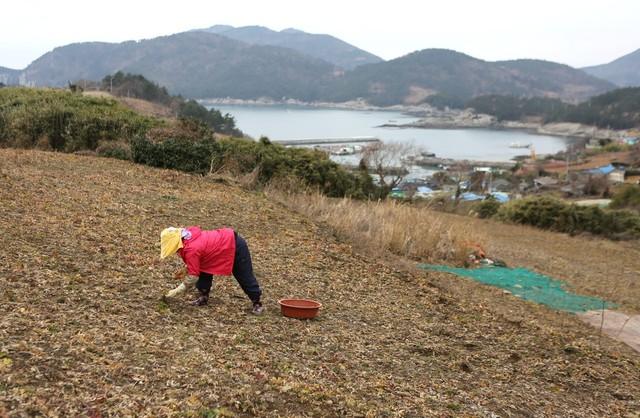 개도 월항리(달이목) 방풍밭에서 할머니가 잡풀을 골라내고 있다.