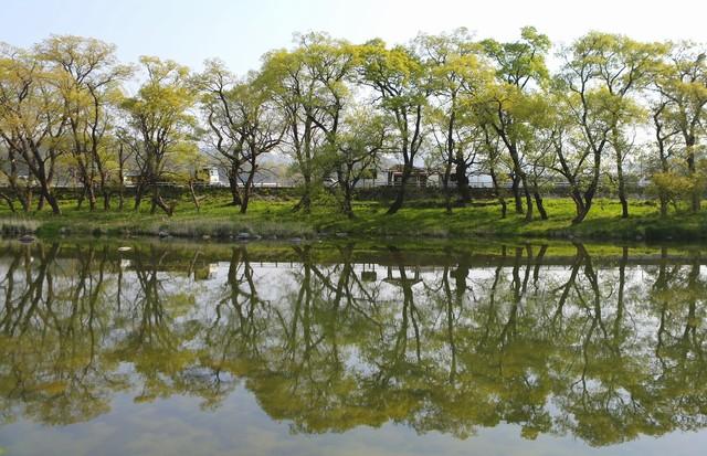 안의면소재지 광풍루 앞 금천 건너편의 갯버들(물버들)숲. 강을 따라 150m쯤 이어진다.