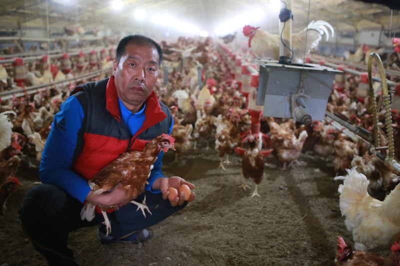 [단독] 살처분 위기에서 구사일생 살아난 5000마리 닭들