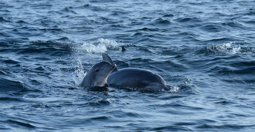 제주 바다로 돌아가 출산한 춘삼이가 지난해 9월 새끼와 유영하는 모습. 이화여대·제주대 돌고래 연구팀 제공