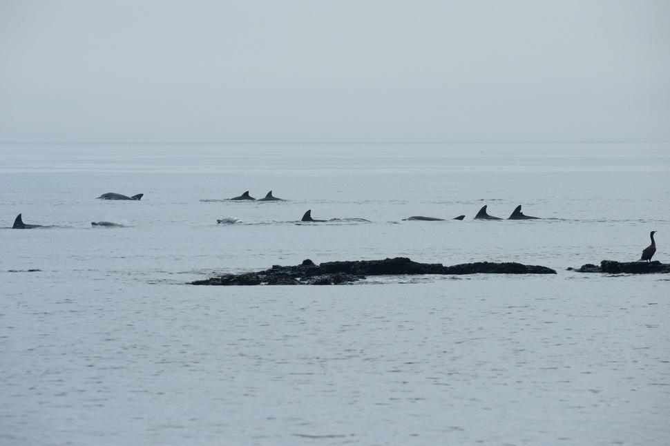 남방큰돌고래 등지느러미는 사람 지문처럼 다 다르다. 등지느러미를 내놓은 돌고래들이 2014년 5월 제주 해안을 도는 모습. 이화여대·제주대 돌고래 연구팀 제공