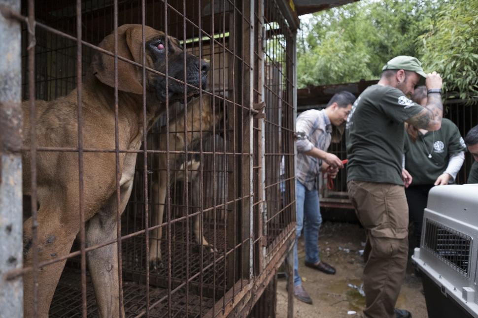 한 식용개가 충남 예산군에 위치한 한 개농장 우리 안에 갇힌 채로 철창 밖을 내다보고 있다. 동물보호단체 휴메인소사이어이티인터네셔널 회원들이 식용견을 구조하고 있다. 예산/김성광 기자 flysg2@hani.co.kr