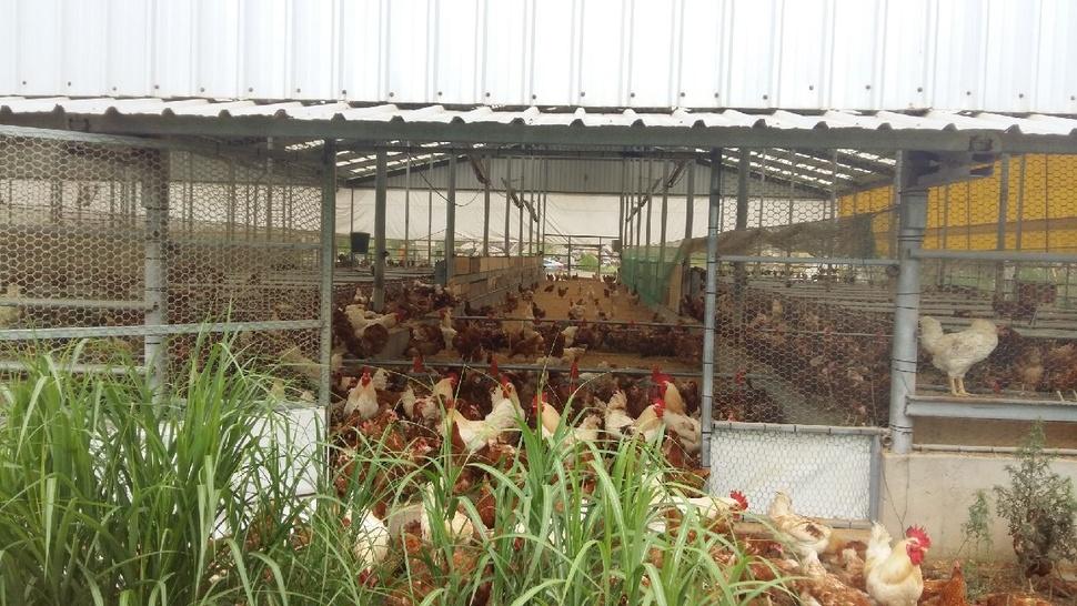 닭들은낮에바깥에나갔다가밤에들어온다.청솔원의경남합천농가.  정진후씨제공