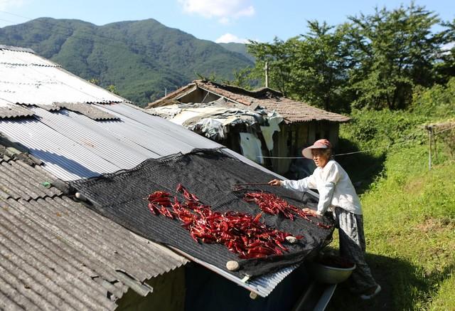 송전리 마적동 주민 황백합자(78)씨가 지붕에 널었던 고추를 거두고 있다.