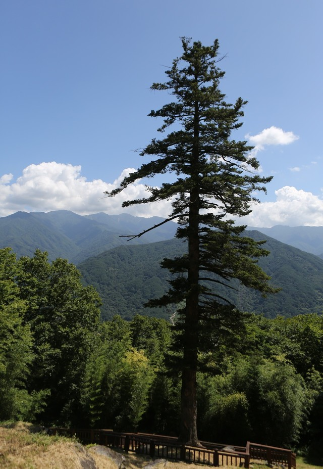 금대암의 500여년 된 전나무. 높이가 40m에 이른다.