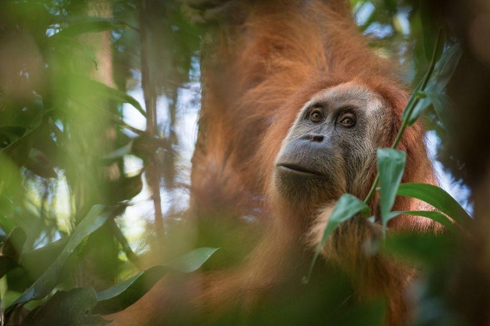 인도네시아 수마트라섬에서 발견된 오랑우탄. 학명은 '퐁고 타파눌리'로 800마리 남았다.  앤드류 왐슬리 제공
