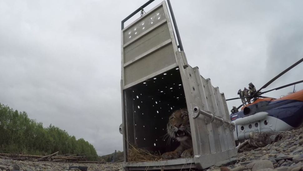 비킨국립공원에 야생방사되는 '블라딕'.  세계자연기금(WWF) 동영상 갈무리.