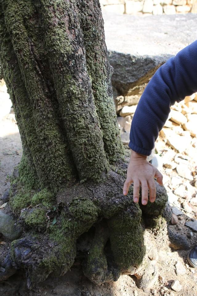 몽심재 문간채 앞의 감나무 '호족시'. 줄기 밑둥과 뿌리 부분이 호랑이 발을 닮았다.