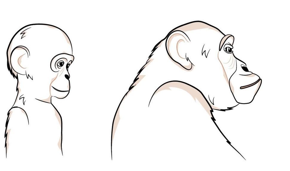 어린 침팬지(왼쪽)와 성체 침팬지의 옆모습. 미국 고생물학자 스티븐 굴드가 찍은 사진을 똑같이 스케치한 그림. 어린 침팬지의 얼굴이 인간의 얼굴과 더 닮았다가 자라면서 입(주둥이) 부위가 돌출되는데, 이는 어렸을 때 납작한 주둥이가 어미의 젖을 먹기에 더 유리하기 때문이라고 한다. 을유문화사 제공