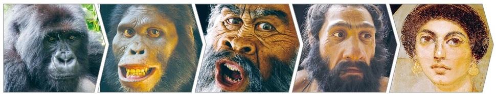 유인원에서 현생인류(호모 사피엔스)에 이르는 진화 과정에서 나타나는 얼굴 생김새의 변천. 왼쪽부터 차례로, 마운틴 고릴라(사진 디터 스테클리스, 네친 스테클리스), 화석 증거로 복원한 오스트랄로 피테쿠스, 호모 에렉투스, 네안데르탈렌시스(사진 존 거치), 고대 이집트에서 미라가 된 주검의 얼굴 위에 놓아두었던 파이윰 초상화에 그려진 한 여인의 얼굴(독일 베를린 이집트박물관 소장). *이미지를 누르면 확대됩니다.