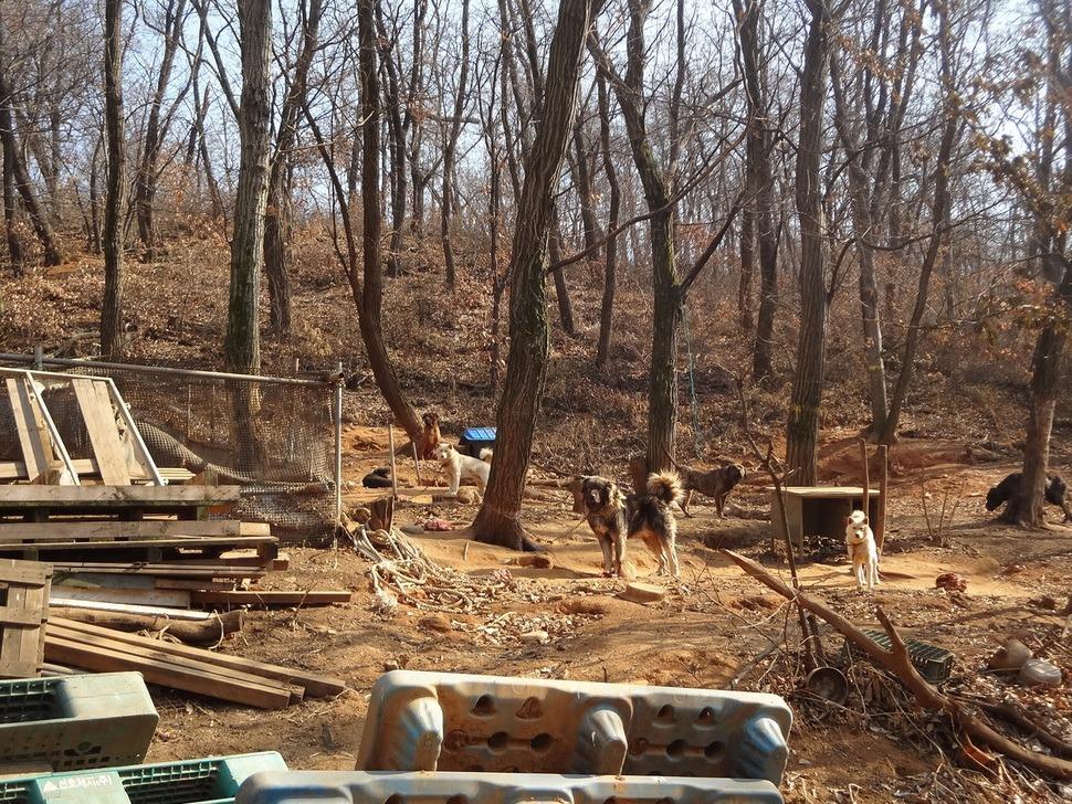 농장 뒤쪽 언덕 위에도 개들이 묶여 있었다.