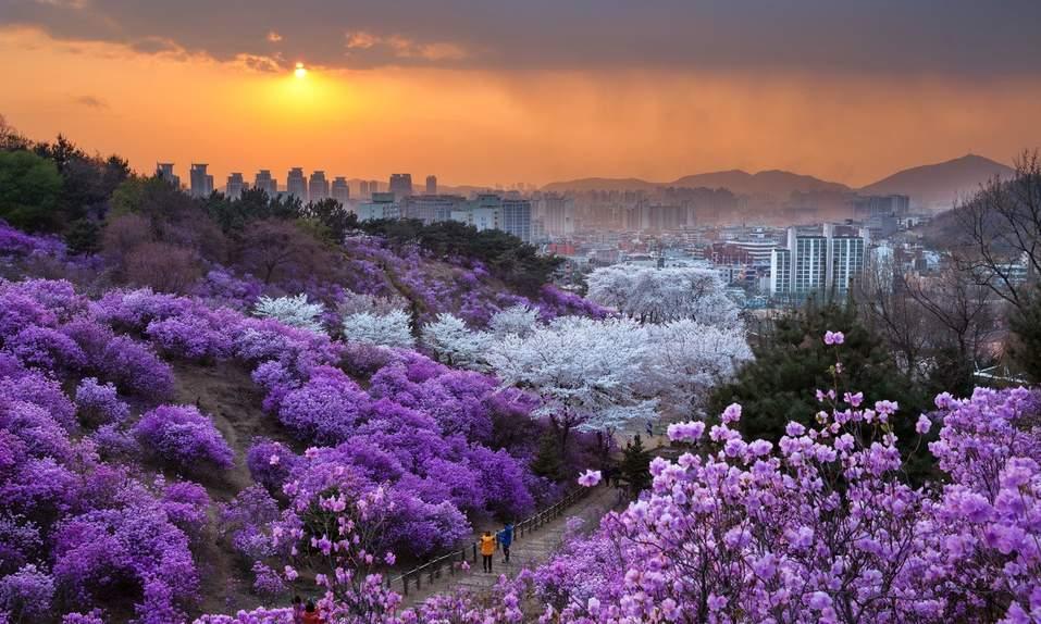 봄꽃 중 심리 효과 최고…벚꽃축제 인기 이유 있었네