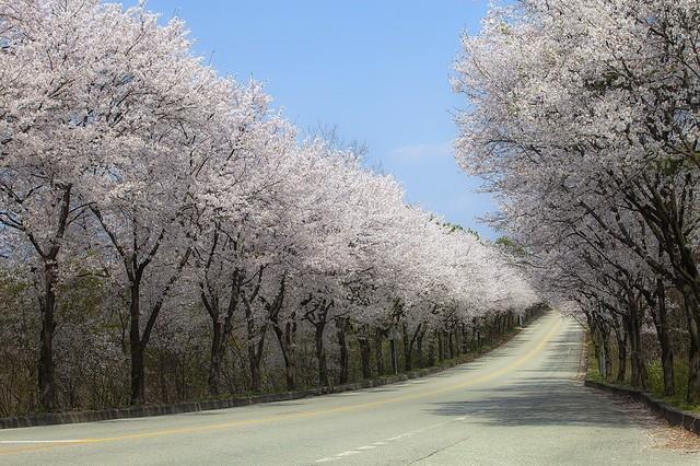 여주 흥천면 귀백리 벚꽃길.   흥천면사무소 제공