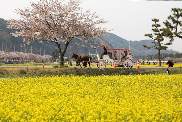 삼척 맹방리 유채꽃밭.   이병학 선임기자