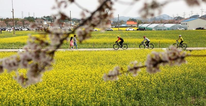 삼척 맹방리의 유채꽃밭. 유채꽃길을 따라 시민들이 자전거 타고 있다. 삼척에선 4월28~29일 동호인 자전거대회 '어라운드 삼척 2018'이 열린다. 도전 코스(138km)와 동행 코스(42km)로 나눠 진행된다.   이병학 선임기자