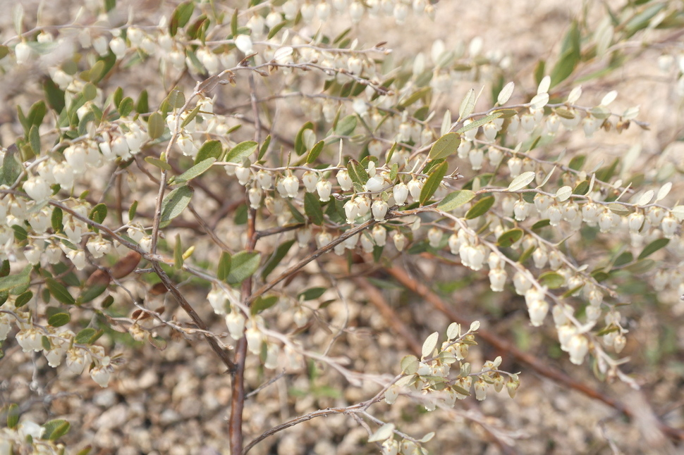 진퍼리꽃나무.