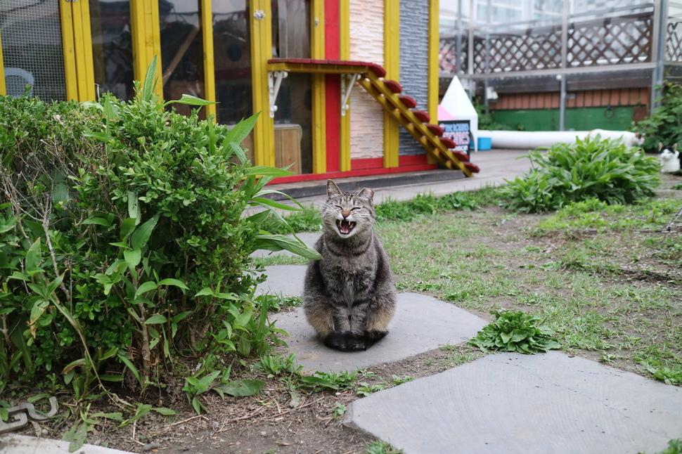 강동구청 성안별관 길고양이 어울쉼터에서 지내는 고양이가 옥상 마당에서 시간을 보내다 하품을 하고 있다.