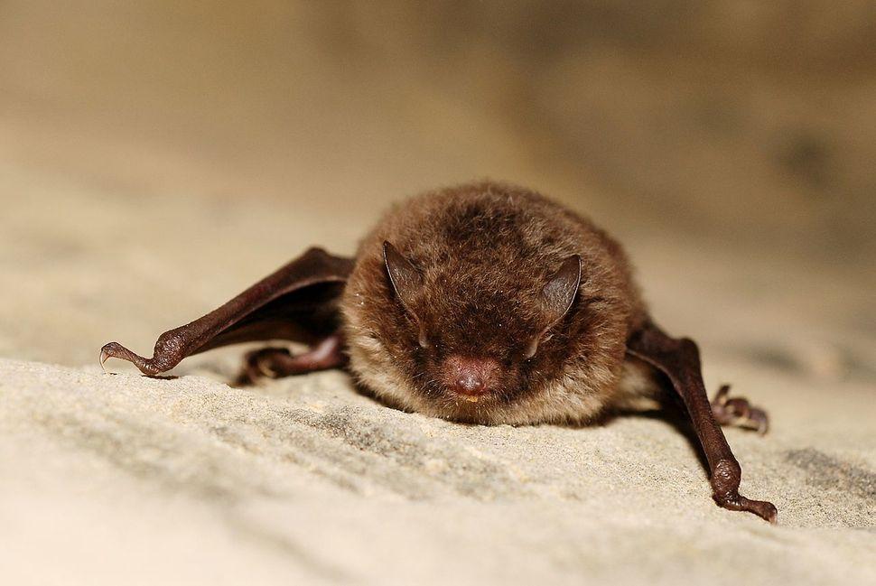 큰 귀와 긴 꼬리를 지닌 큰귀박쥐. 위키미디어 코먼스