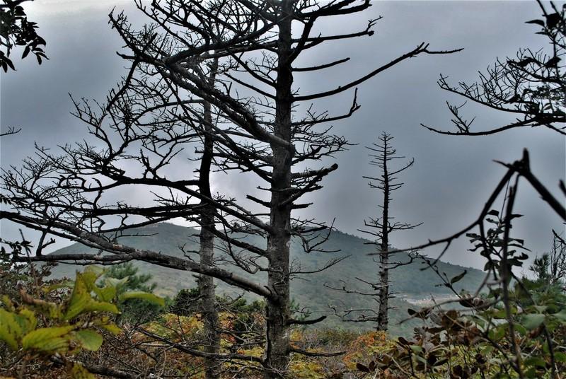 태백산 정상에서 분비나무들이 집단고사한 모습.(2017년 9월)   서재철 제공