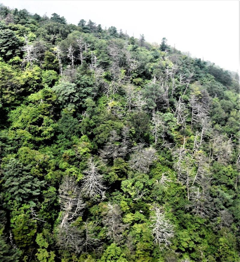 지난달 28일 지리산 천왕봉 주변을 항공촬영한 모습. 군데군데 침엽수들이 고사해, 가지만 생선뼈처럼 앙상하게 남아 있다. 서재철 제공